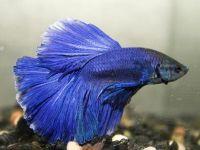 Лабиринтовые рыбки для вашего аквариума