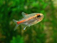 Искорка аквариума — пылающая тетра