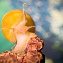 Ампулярия: польза и украшение аквариума