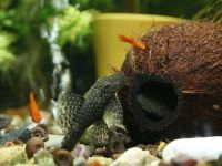 Кокосовые фантазии для декорирования аквариума