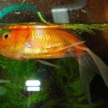 Основные заболевания аквариумных рыб