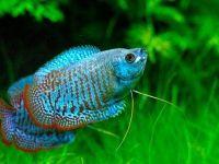 Лялиусы — рыбки на все времена