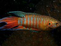Райские рыбки макроподы
