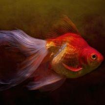 Золотые рыбки вуалехвосты – маленькие сокровища японских императоров
