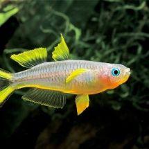 Попондетты — голубоглазые красавицы аквариума