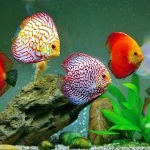 Дискус — капризный король аквариума