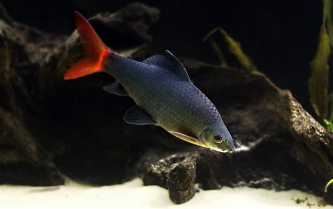 Рыбки лабео — захватчики территорий