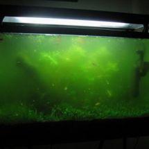 Чем вызвано цветение воды в аквариумах?