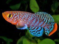 Нотобранхиус: яркий представитель аквариума