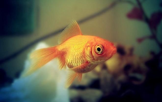 Красивая, но капризная золотая рыбка