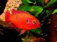 Особенности обитания и размножения хемихромиуса красного