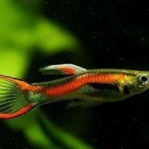 Миниатюрные рыбки — Гуппи Эндлера