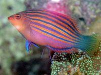 Красивая и полезная рыбка для морского аквариума — губан