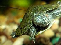 Забавные и интересные черепашки для аквариумов