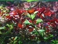 Содержание людвигии в аквариуме