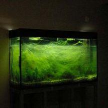 Беда аквариума — появление нитчатых водорослей