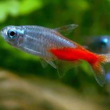 Неоны — стайка сияющих звездочек в вашем аквариуме