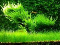 Вечно-зеленый газон аквариума