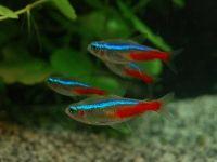 Как размножаются рыбки неоны: мастерим нерестовик и ухаживаем за мальками