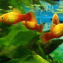 Аквариумные рыбки для новичков