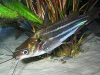 Мистус полосатый – задорная рыбка-перевертыш