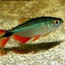Тетра плотвичка – стайная рыбка и страстная любительница аквариумных растений