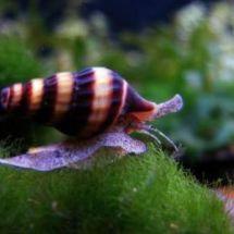 Улитки хелена — хищные помощники в аквариуме