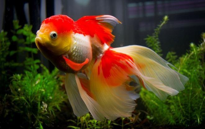 Оранда — рыбка с головным убором