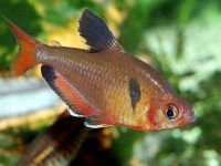 Яркая рыбка серпас