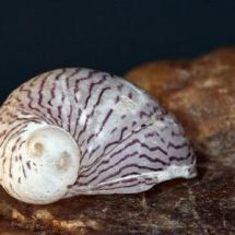 Теодоксусы – отечественные аквариумные моллюски
