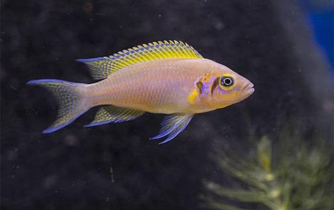 Принцесса бурунди — рыбка-семьянин