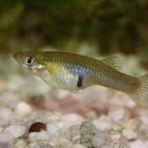 Неприхотливые гамбузии – замечательный объект для аквариумного рыбоводства