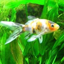 Японская золотая рыбка — блистательный калико