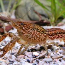 Серо-пятнистый рак — мраморный обитатель аквариума