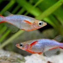 Рисовая рыбка из Индонезии — оризиас вовора