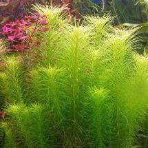 Погостемон прямостоячий (эректус) – миниатюрный ельник в вашем аквариуме