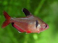 Минор — яркий и неприхотливый обитатель вашего аквариума