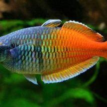 Радужные рыбки меланотении