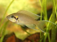 Рыбка принцесса бурунди
