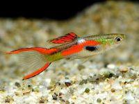 Карликовая рыбка гуппи эндлера