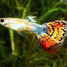 Гуппи — красивые и неприхотливые рыбки