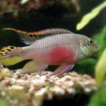Пельвикахромисы — яркие попугайчики аквариума