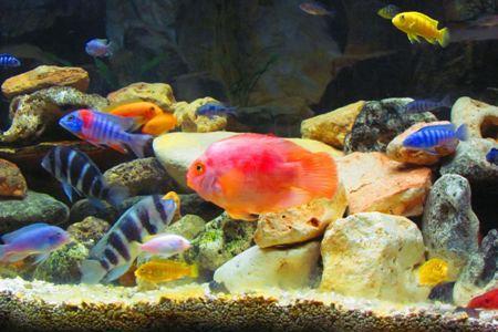 африканские цихлиды в аквариуме