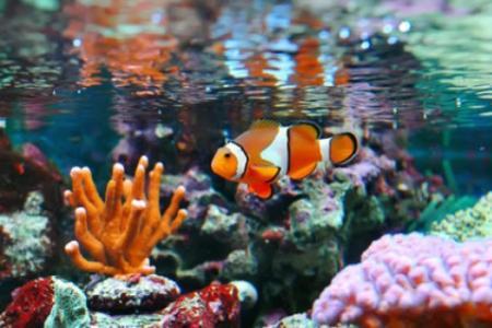 рыбка клоун в морском аквариуме