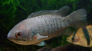 рыбка ползун