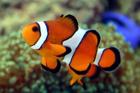 красивая рыбка-клоун