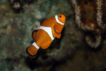 необычная рыбка-клоун