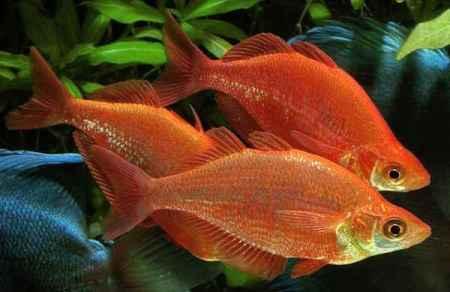 красивые рыбки атерины