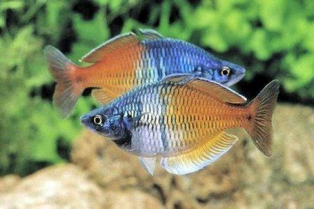 удивительные рыбки атерины
