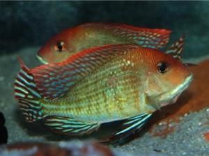 красноголовые геофагусы в аквариуме